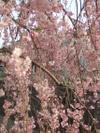 Sakura_tate1