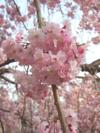 Sakura_tate3
