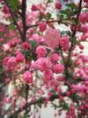 Sakura_tate4